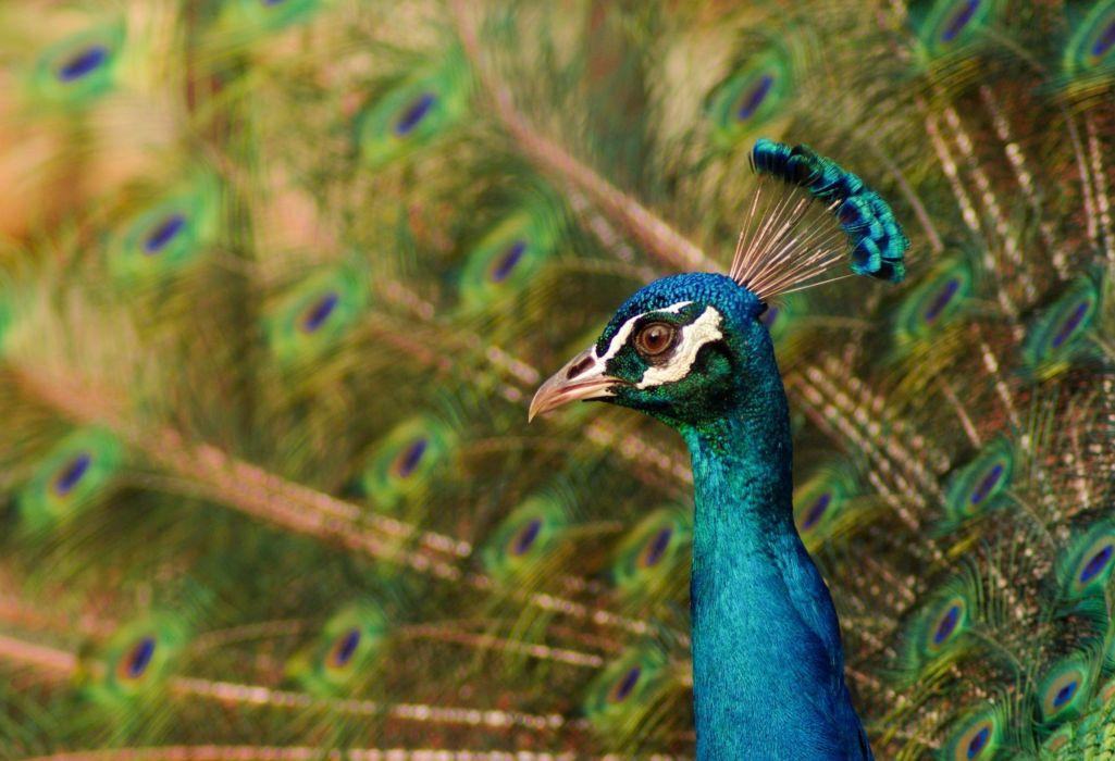 Peacock Closeup Birds Animals wallpaper