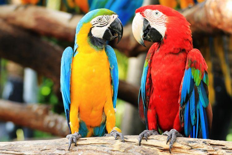 parrot macaw birds couple wallpaper