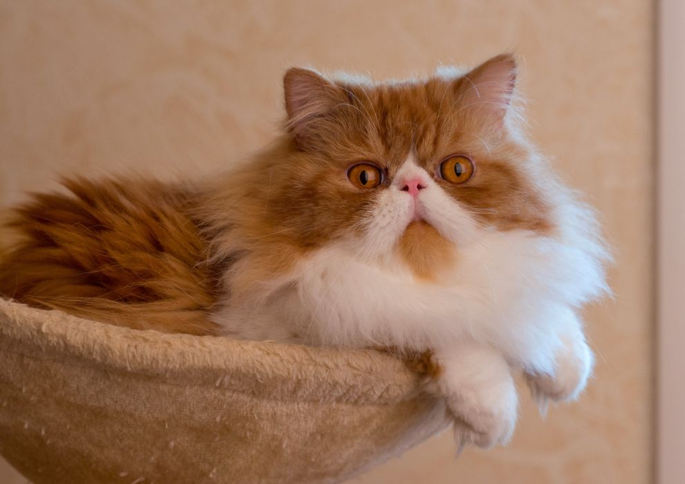 Persian cat fluffy wallpaper