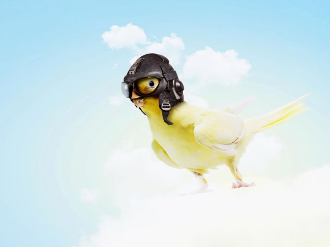 Sky Helmet Animals Humor parrot parakeet wallpaper