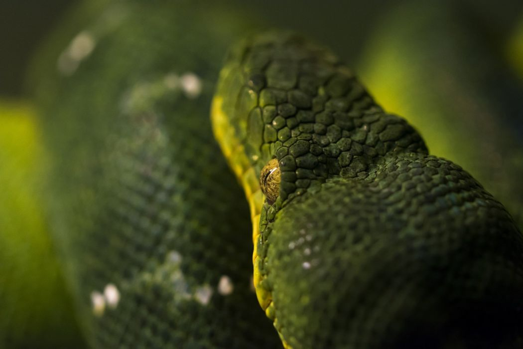 Snake Closeup Animals wallpaper