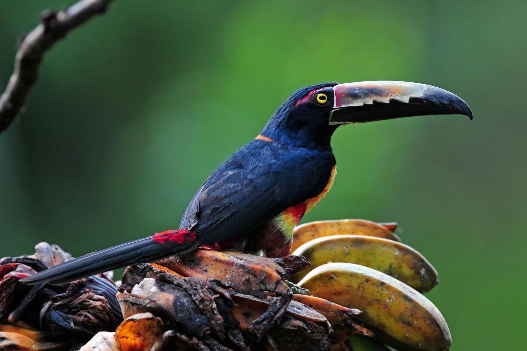 Toucan Birds Beak Animals parrot wallpaper