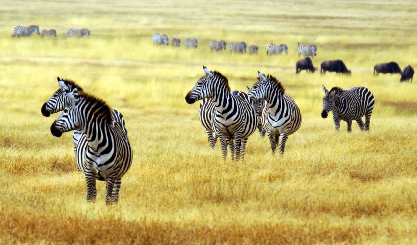 Zebra Artiodactyl Grass Animals wallpaper