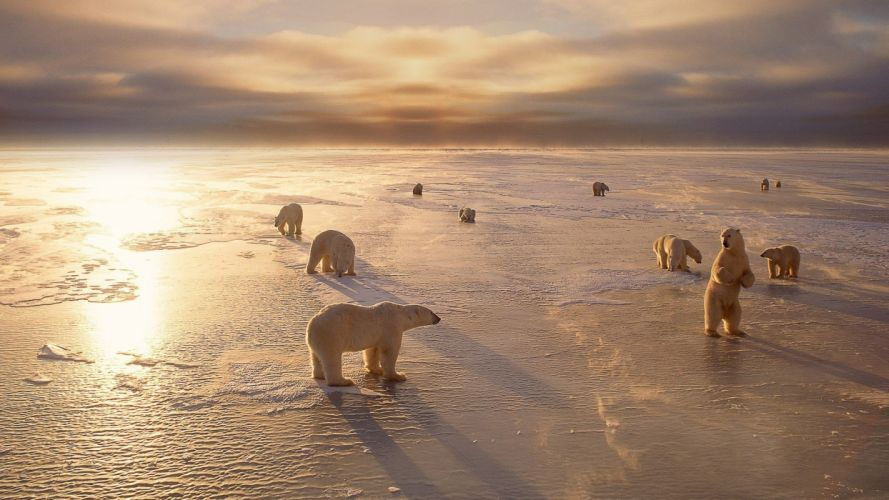polar bears wallpaper