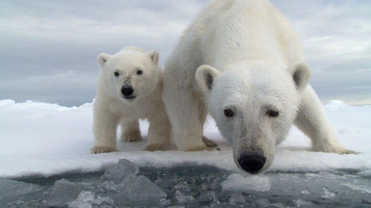 polar bear cub wallpaper
