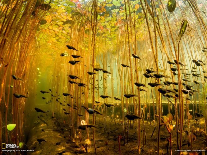 tadpole amphibian frog toad baby underwater lake river wallpaper