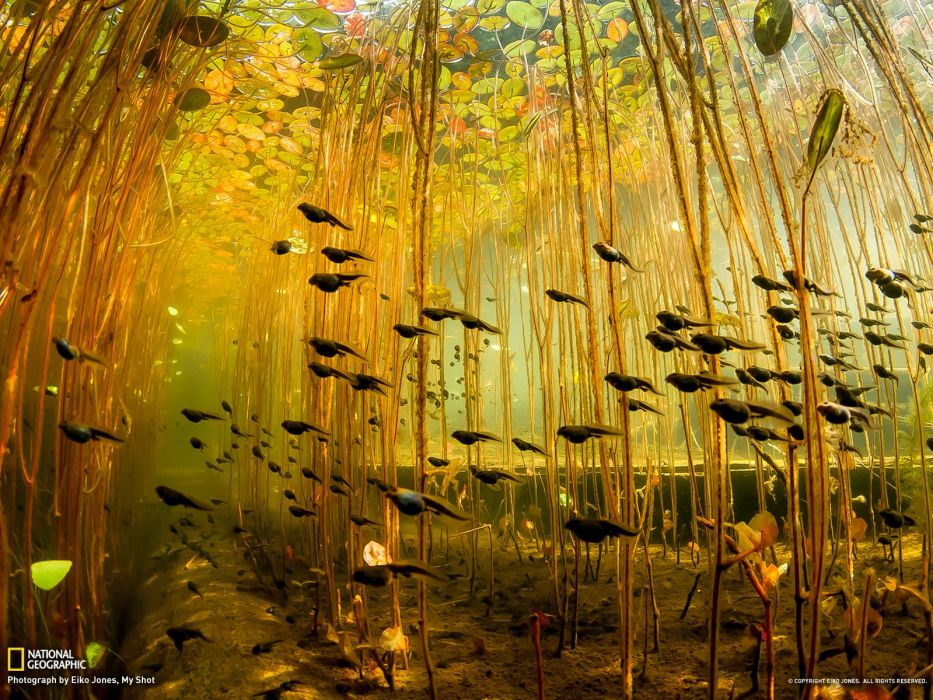 tadpole amphibian frog toad baby underwater lake river wallpaper