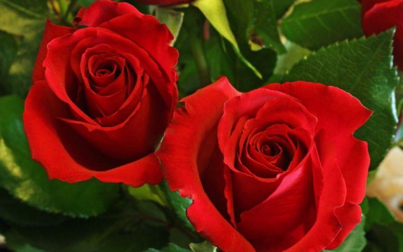 roses flowers love wallpaper