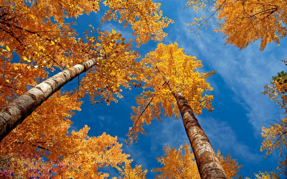 autumn trees forest sky wallpaper