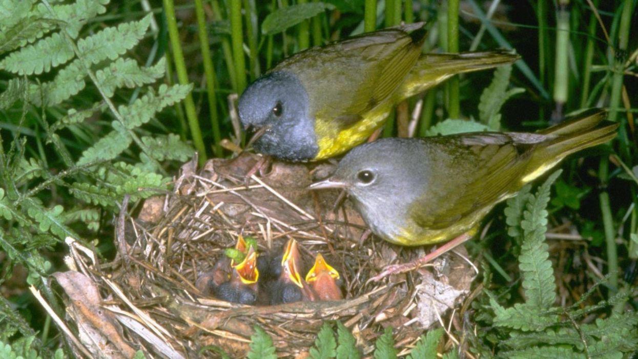 animales-aves-pararos-nido-naturaleza wallpaper