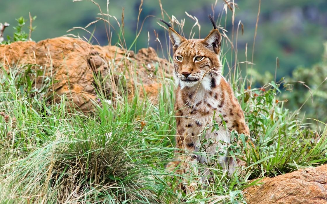 lince-animales-naturaleza wallpaper