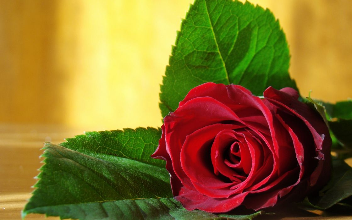 rose flower love life red wallpaper