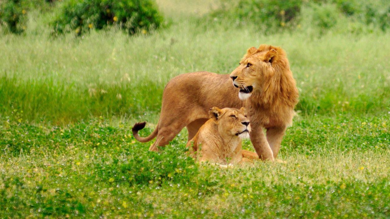 leon-leona-animales-naturaleza-savana wallpaper