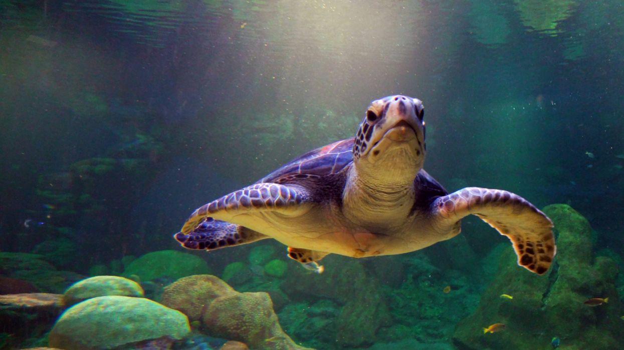 tortuga-mar-animales wallpaper