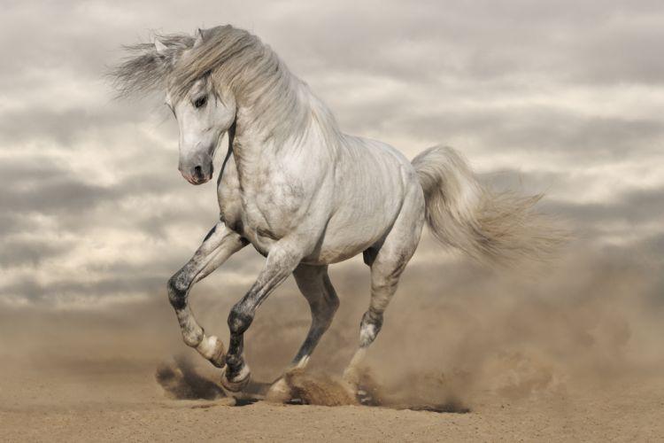 amazing beauty white horse wallpaper