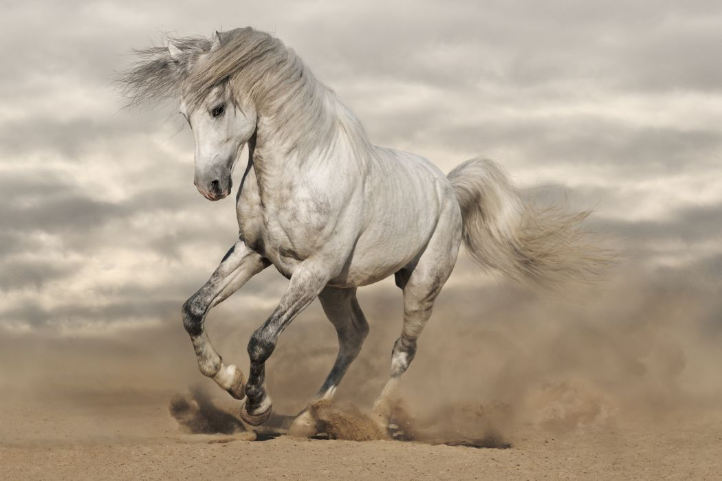 amazing beauty white horse wallpaper