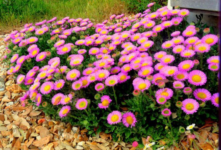 nature flower beautiful flowers plant colorful petals wallpaper