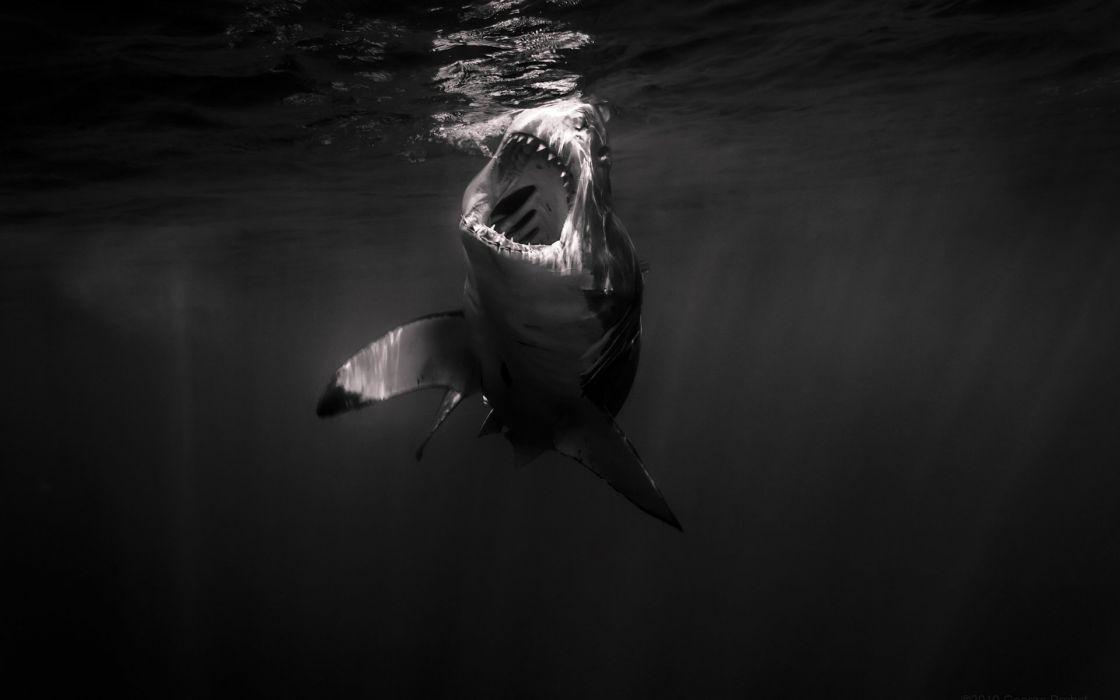 Shark wallpaper