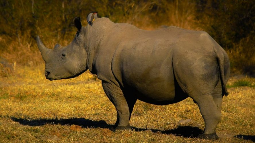 rinoceronte-animal-naturaleza wallpaper