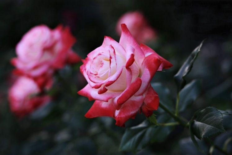 rose flowers love life girls wallpaper