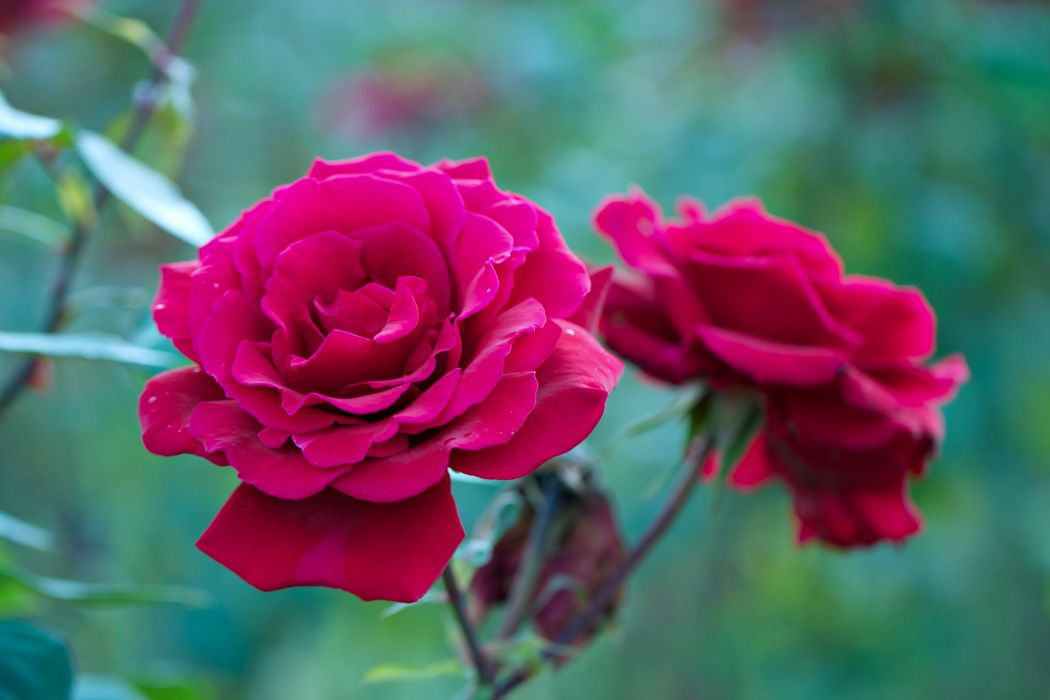 rose flowers love life wallpaper