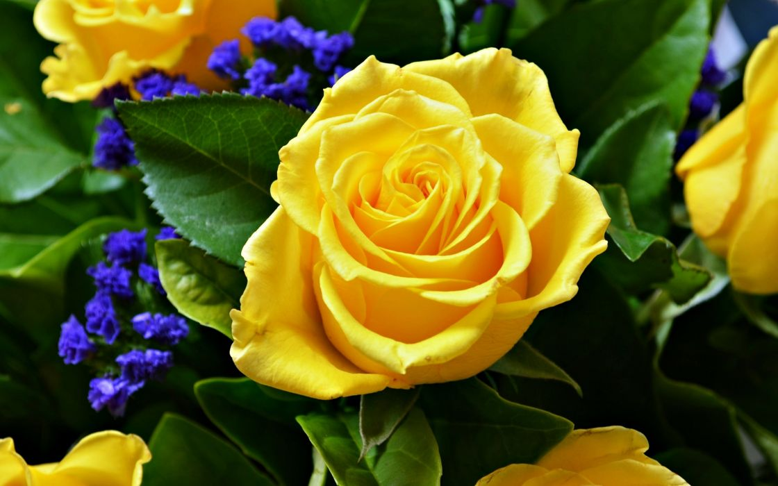 rose flower love life yellow wallpaper