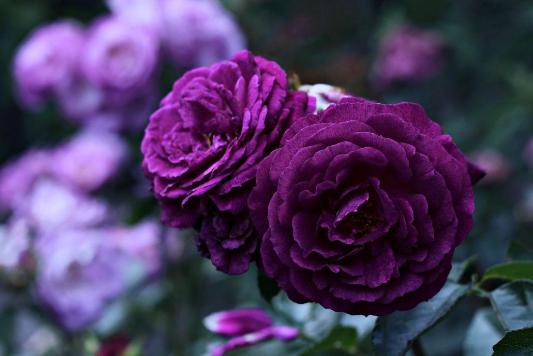 flower - life - love - rose - purple - violet wallpaper