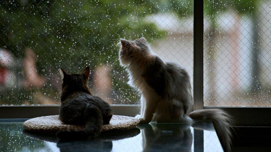 cats pets window rain house life wallpaper
