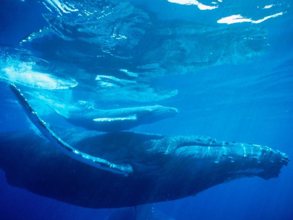 ballena-jprpbadp-ballenato-animales-oceano-naturaleza wallpaper