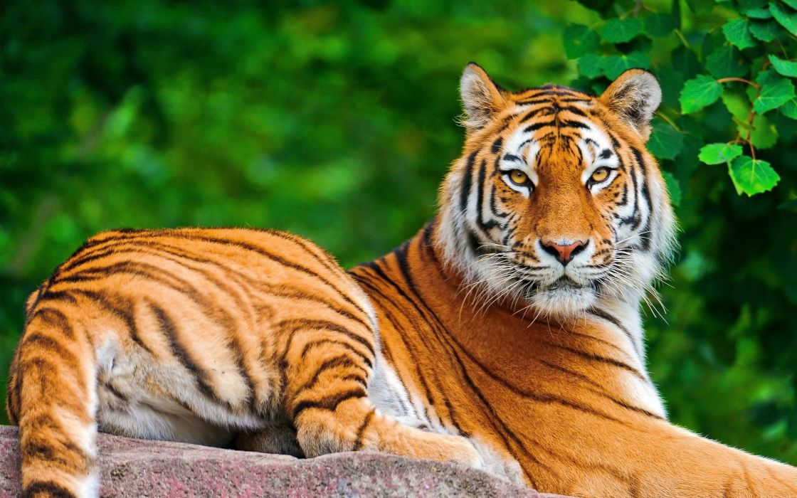 tigre-animal-felinos naturaleza wallpaper