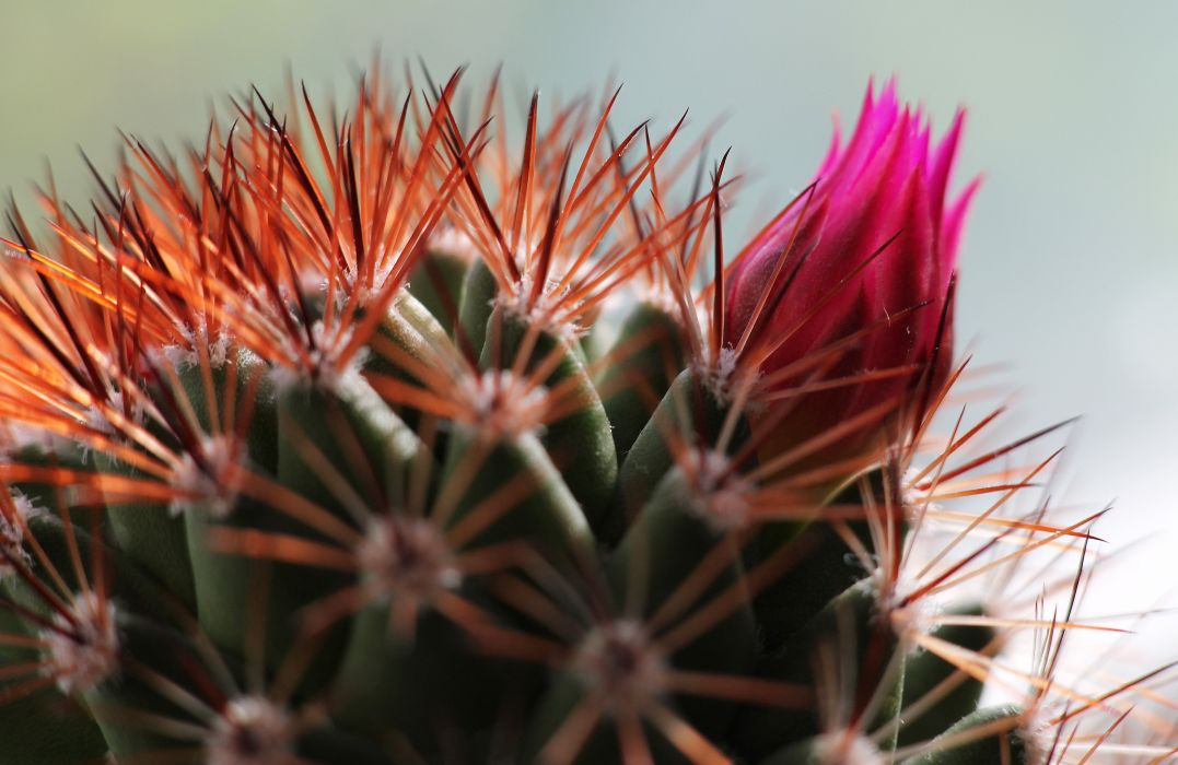 cactus flower bud spines D wallpaper