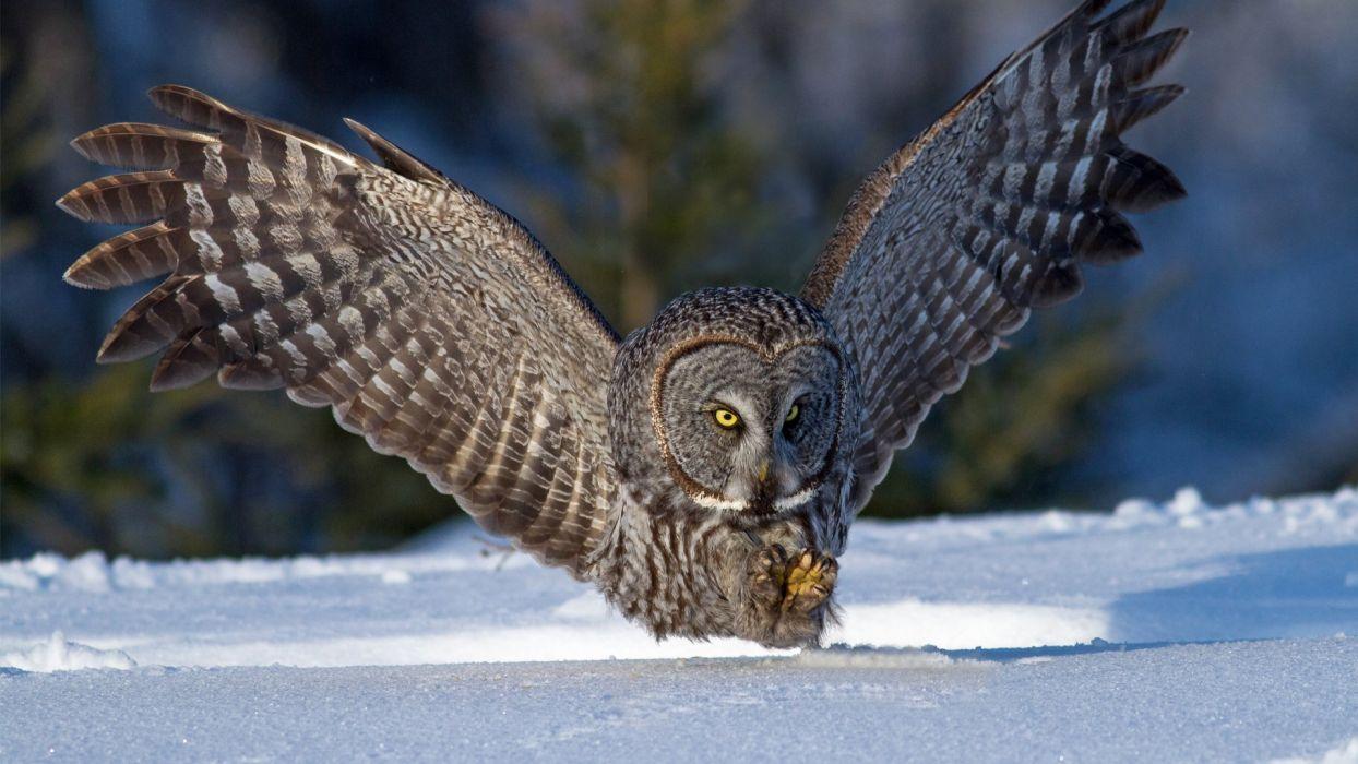 buho-real-ave-animal-naturaleza-nieve wallpaper