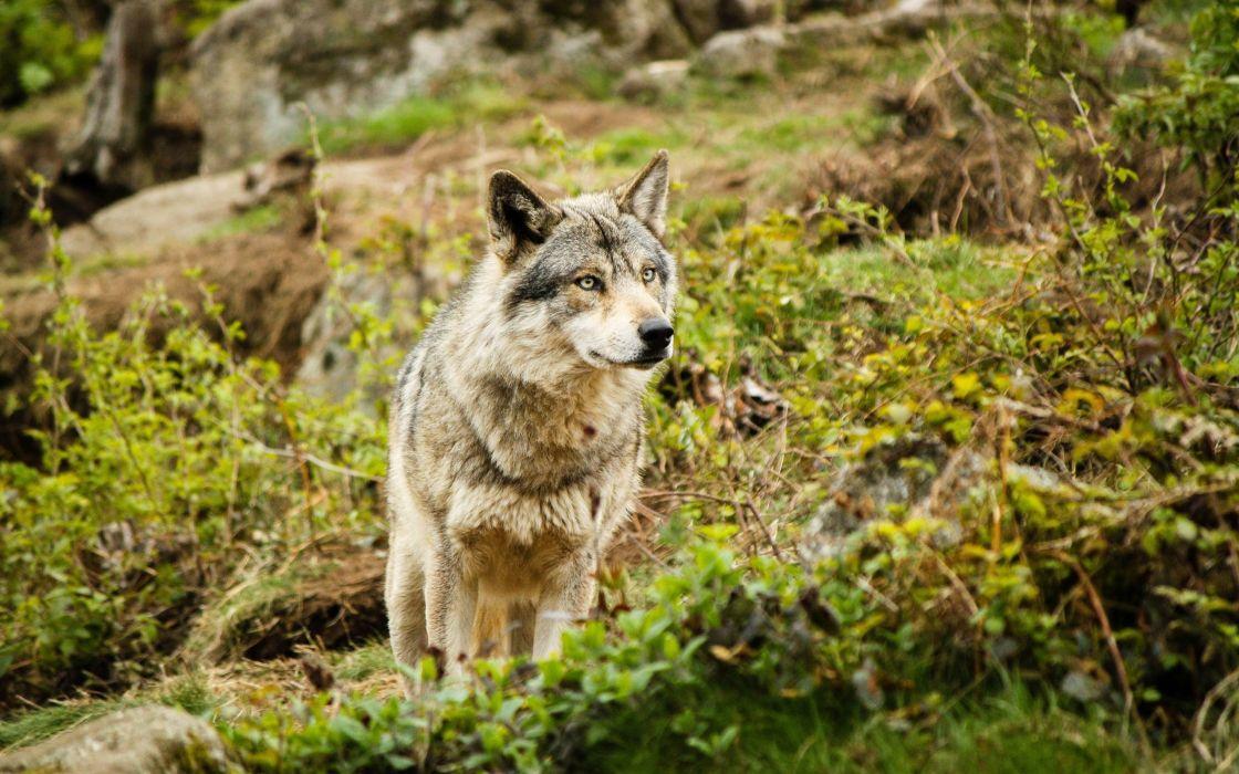lobo-animales-naturaleza wallpaper