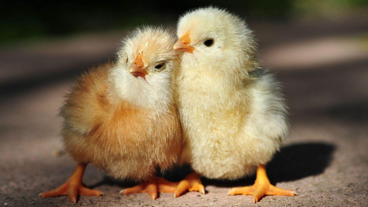 pollitos-aves-animales-naturaleza wallpaper