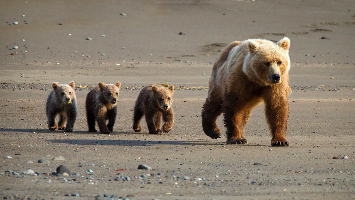 family walk she-bear from young in road wallpaper