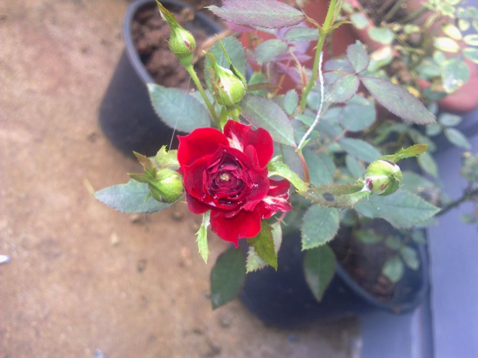 Red rose with water droplets wallpaper