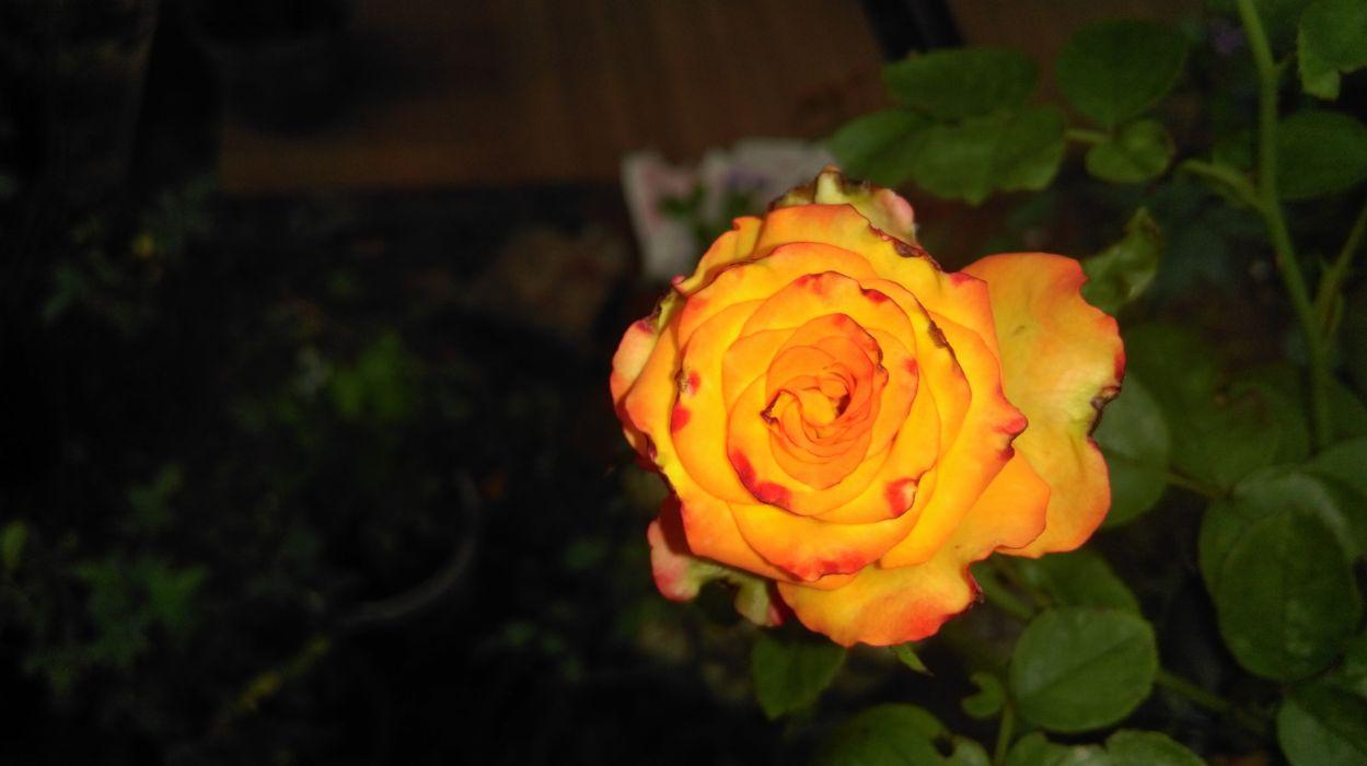 Yellow rose magic wallpaper