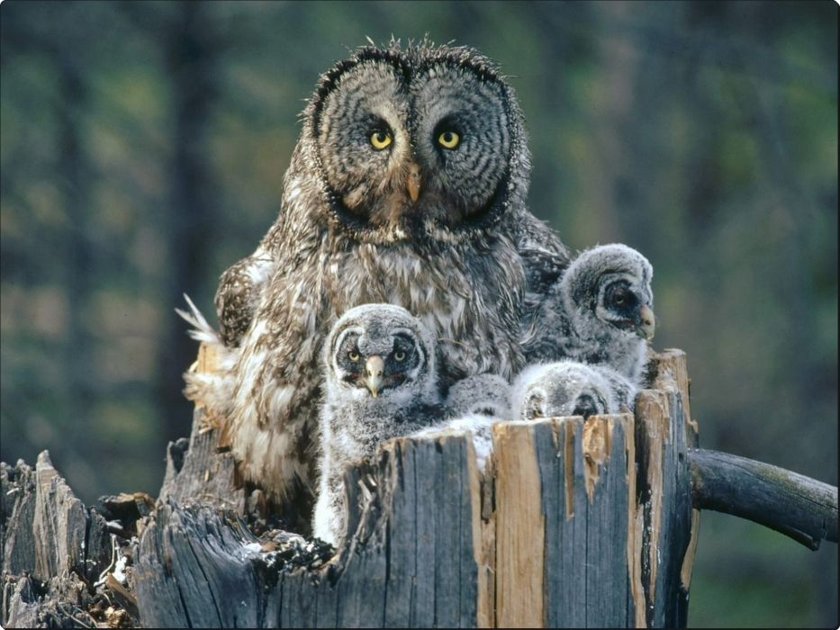 Great Gray Owl With Owlets wallpaper