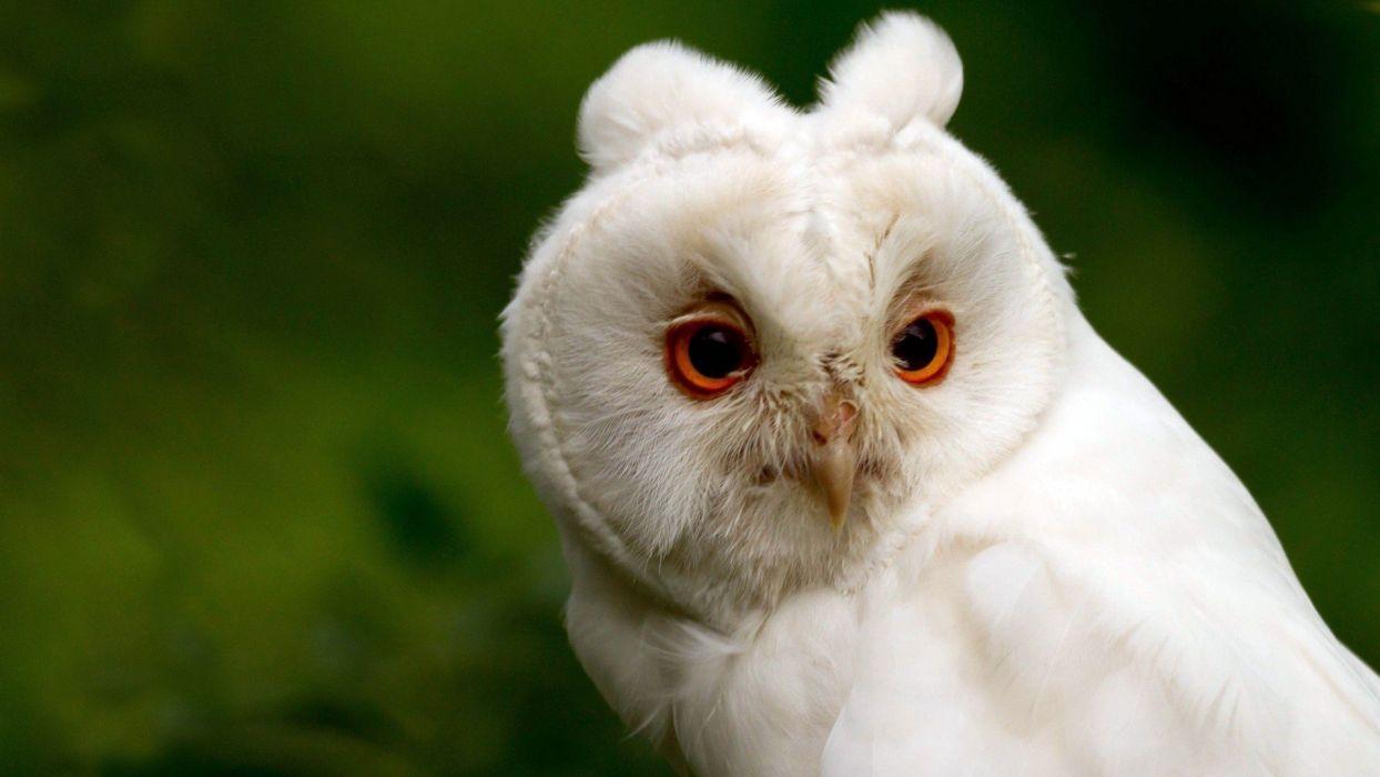 WHITE OWL wallpaper