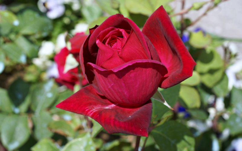 flower - life - love - rose - dewdrop - red wallpaper