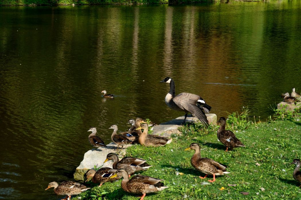 one-quacky-family-duck-baby cute lake animal wallpaper