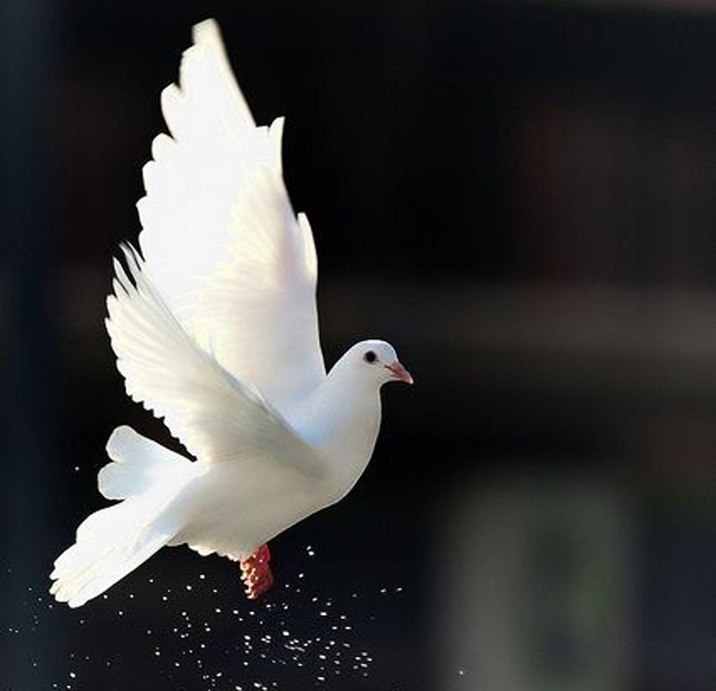 Love Dove Beautiful Wallpaper : White-dove-beautiful-bird-animal freedom wallpaper 1444x1393 616654 WallpaperUP