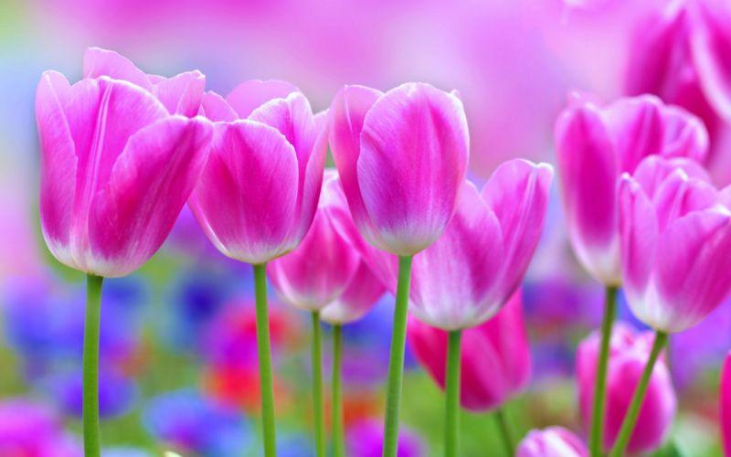 tulips - Flowers - garden - landscape - love - nature - romantic - roses - Spring wallpaper