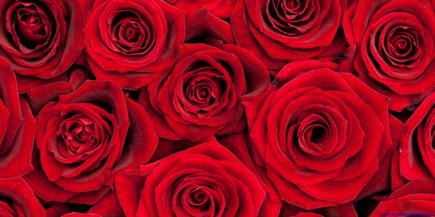 VALENTINES DAY mood love holiday valentine rose roses flowers bouquet wallpaper