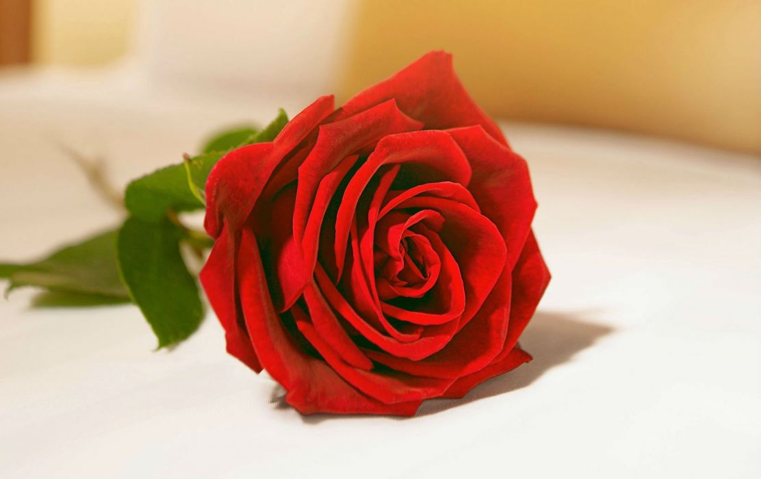VALENTINES DAY mood love holiday valentine rose roses flowers wallpaper
