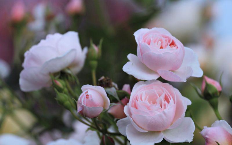 rose flowers wild spring landscape love romance life beauty wallpaper