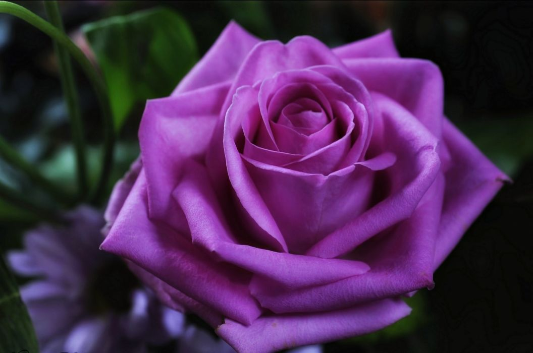 emotions - Flowers - For - life - love - Purple - red - romance - rose - Spring - violet wallpaper