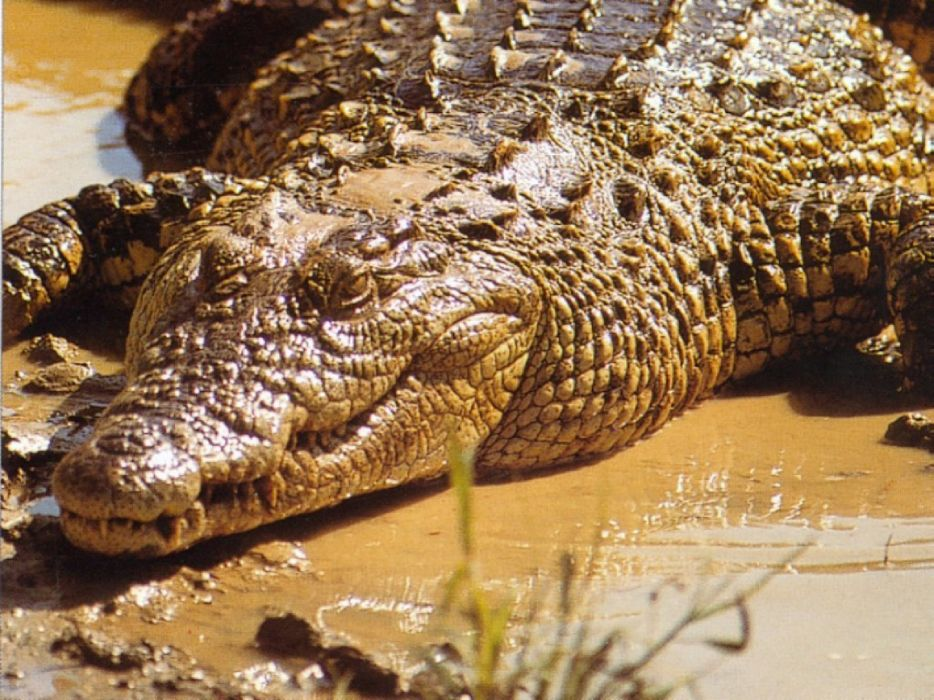 cocodrilo-animal-reptil-naturaleza wallpaper