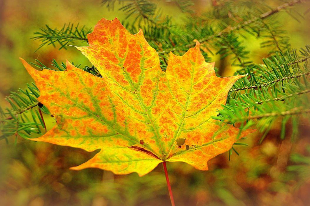 Autumn Closeup Seasons Foliage Maple Branches Nature wallpaper