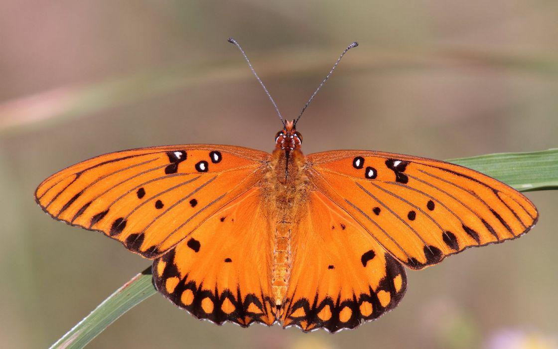 butterfly orange wallpaper